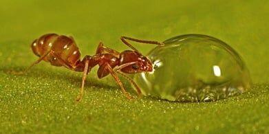 Formigas renascentistas